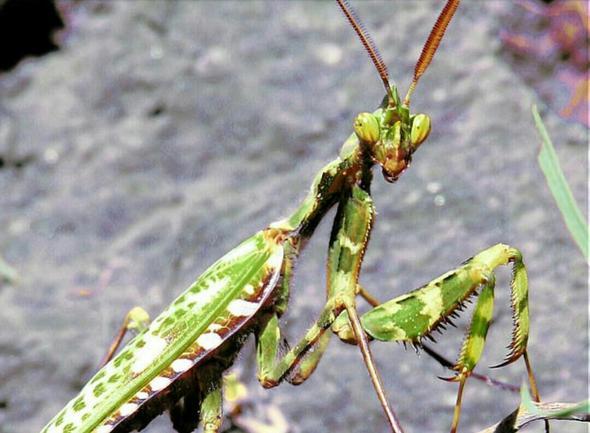 (Cell Mantis) ;) - (name-gesucht, Gottesanbeterin)