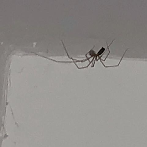 Gr te zitterspinne der welt in meinem zimmer siehe foto ich habe gro e angst was tun tiere - Spinne im zimmer was tun ...