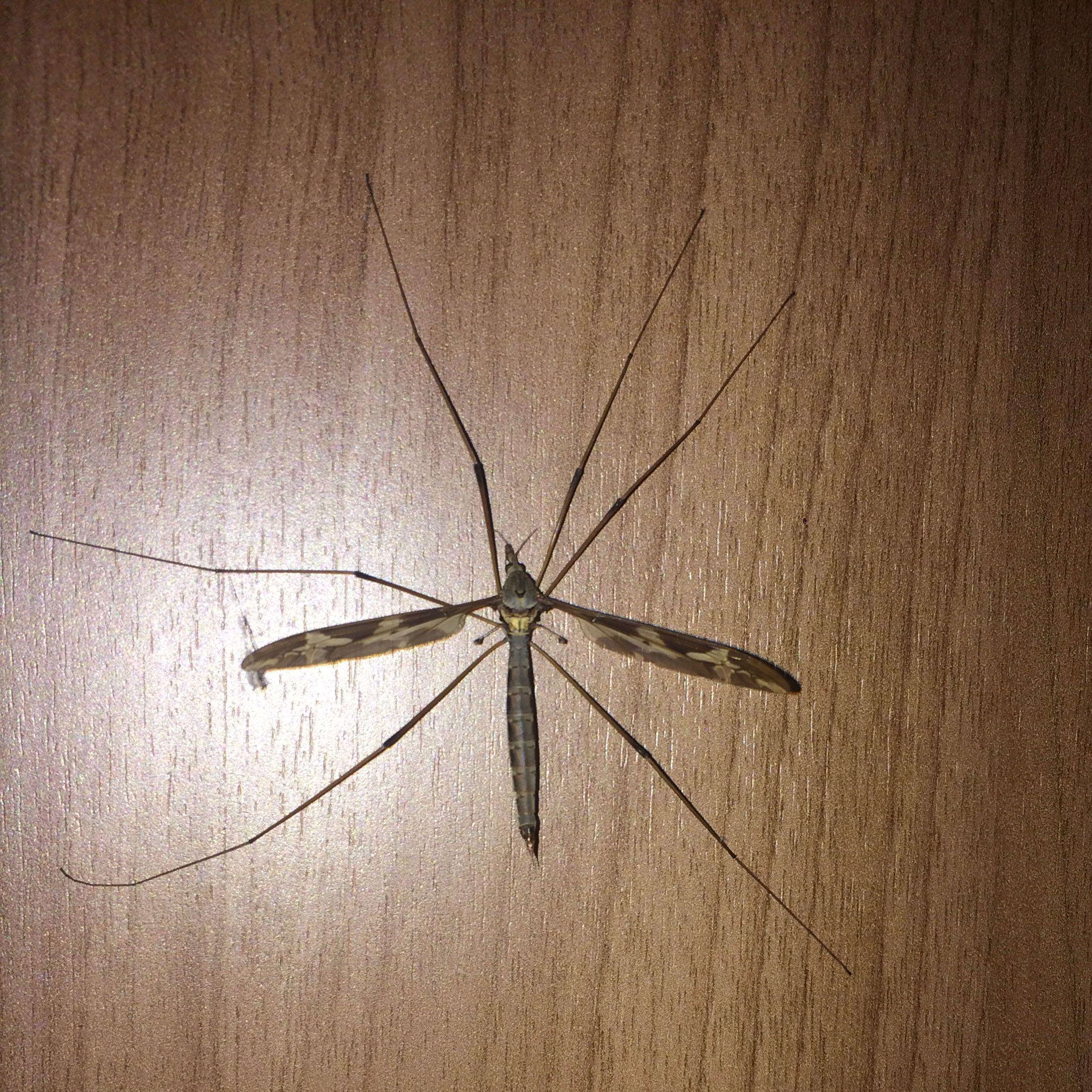 Große Mücken