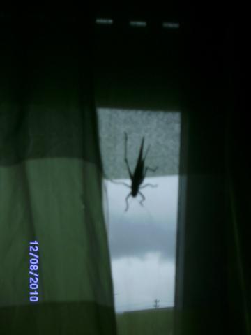 - (Tiere, Insekten, grashüpfer)