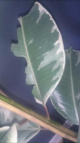 gummibaum bl tter angefressen pflanzen zimmerpflanzen hauspflanzen. Black Bedroom Furniture Sets. Home Design Ideas
