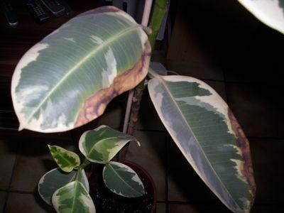 gummibaum hat braune stellen pflanzen botanik. Black Bedroom Furniture Sets. Home Design Ideas