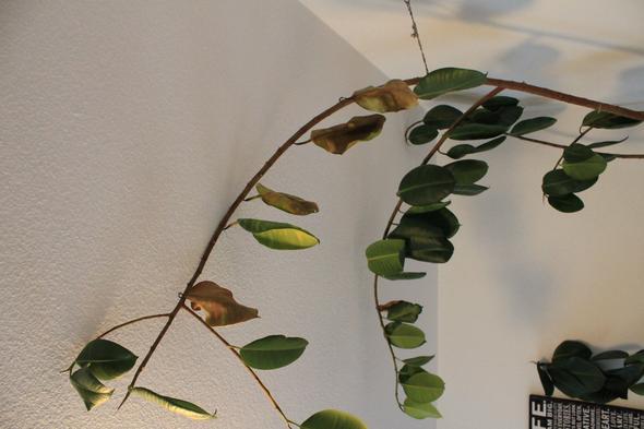 gummibaum verliert alle bl tter hilfe garten pflanzen pflanzenpflege