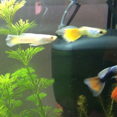 Guppy  - (Fische, Aquarium, guppy)
