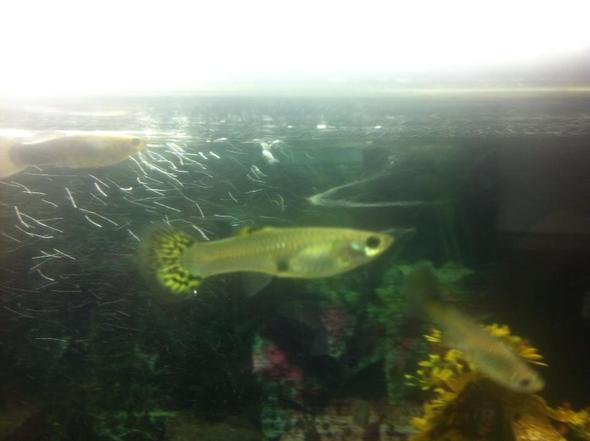 Guppy - (schwanger, Fische, Aquarium)