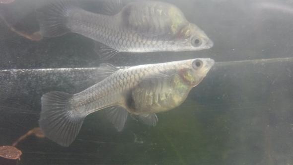 Guppy Weibchen - (Schwangerschaft, Baby, Fische)