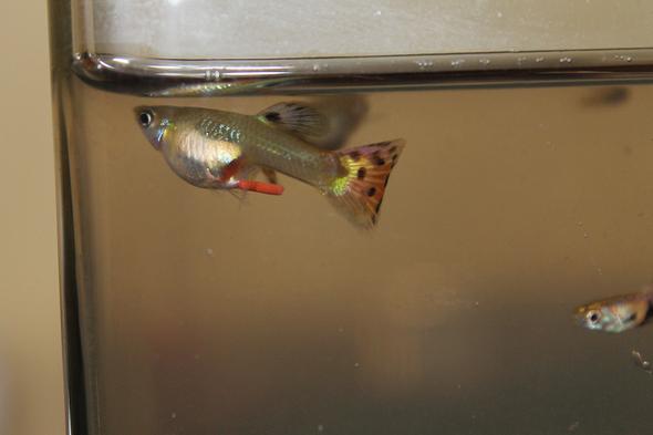 Fisch 1 - (Fische, guppy)