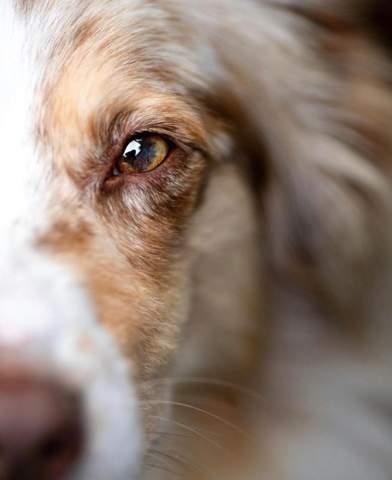 Gute Augenbilder von Hunden?