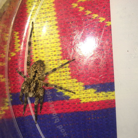 Spinne vom Schlafzimmer - (giftig, Spinnenbiss, Scheissvieh)
