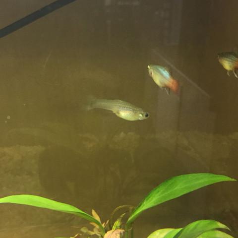 Guppy Endler weiblich 1 - (schwanger, Aquarium, guppy)