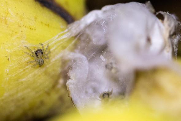 Spinne 2 - (Spinne, Vogelspinne, Spinne auf Banane)