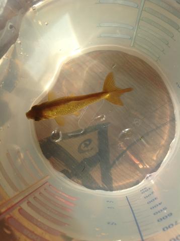 Hintere Flosse ist sehr komisch - (Fische, Goldfische)