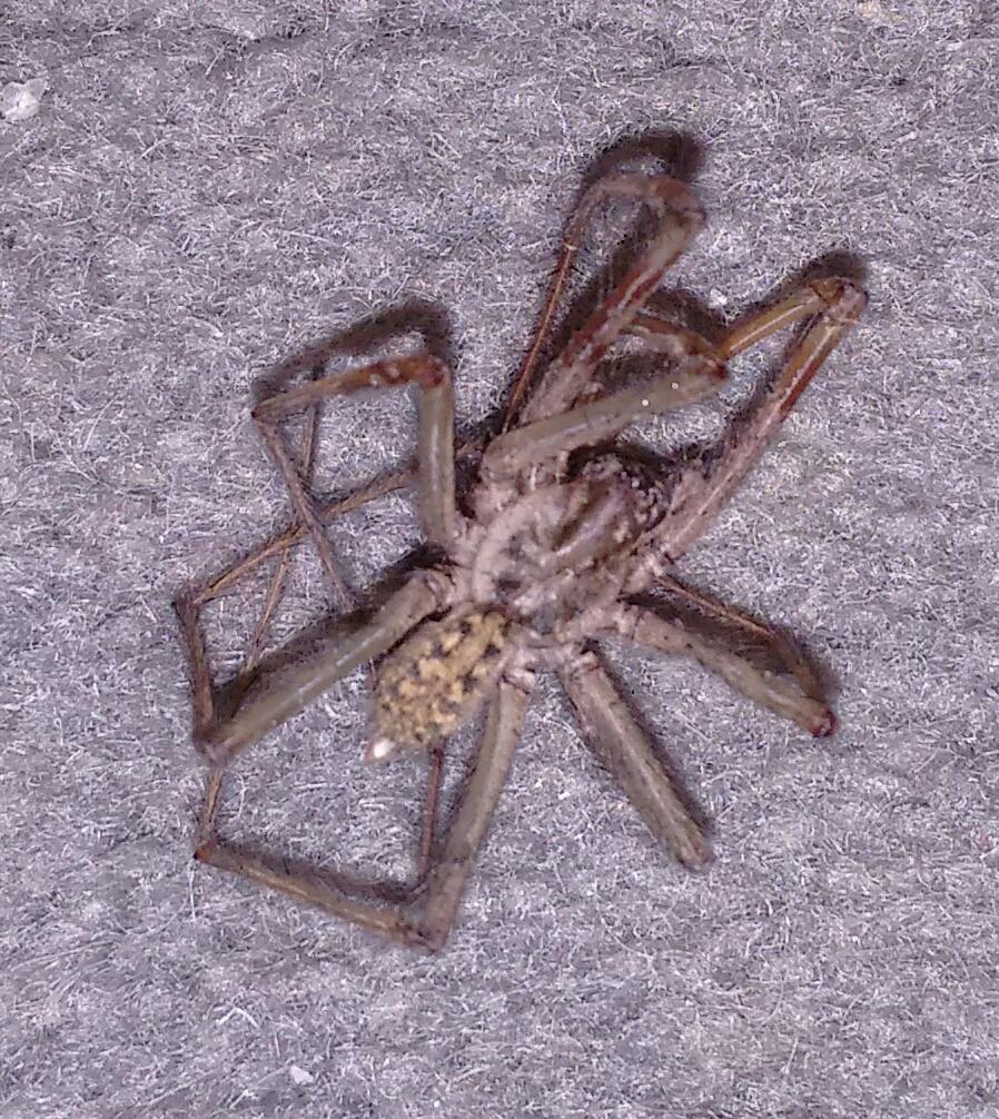 hab diese spinne in meinen zimmer in england gefunden ist diese giftig und um welche spinne