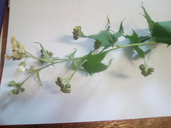 energiepflanze - (Pflanzen, Kaäuter)