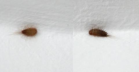 larven - die meistgelesenen fragen - Kleine Ungeziefer Im Schlafzimmer