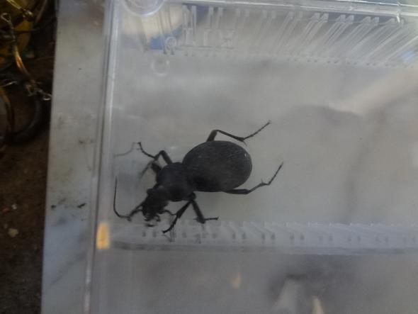 habe ein insekt in der wohnung gefunden was ist das f r eines kaefer. Black Bedroom Furniture Sets. Home Design Ideas
