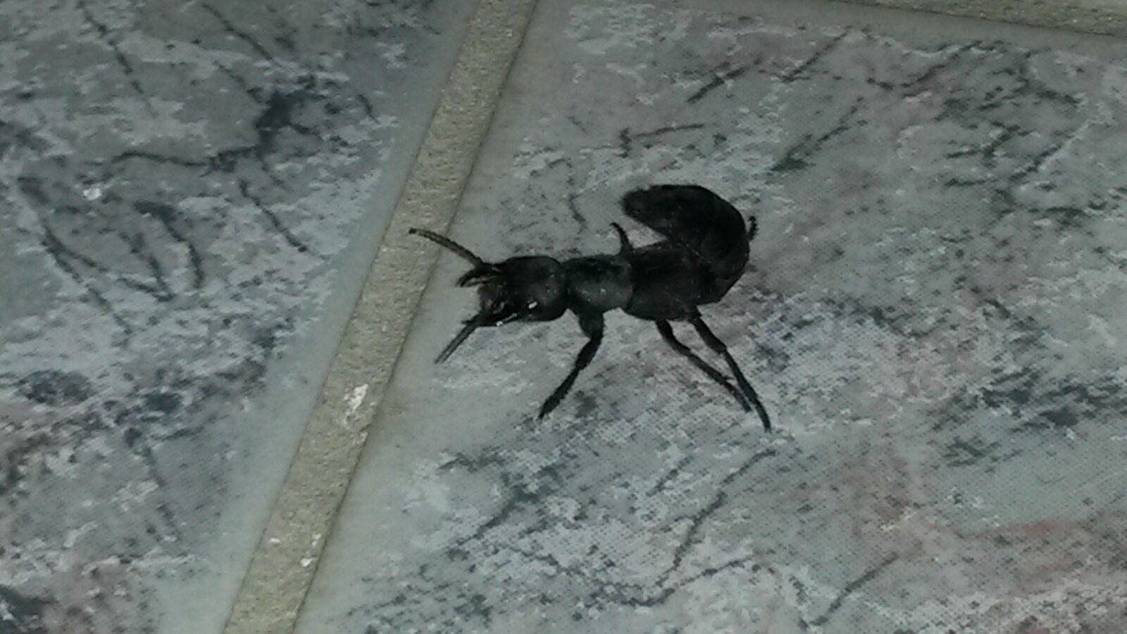 habe eine schwarze ameise mit stachel am r cken im keller gefunden wei jemand was das f r ein. Black Bedroom Furniture Sets. Home Design Ideas
