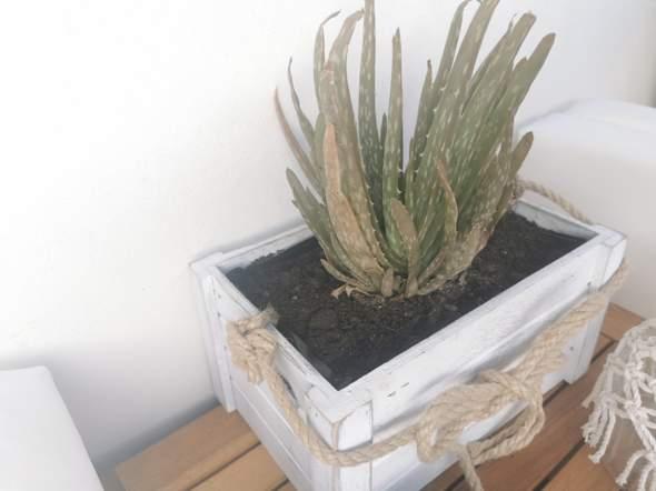 Habe ich meine Aloe Vera zu viel gegossen oder verträgt sie die Sonne nicht?