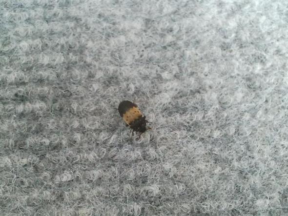 habe insekten k fer in wohnung was tun tiere ungeziefer kaefer. Black Bedroom Furniture Sets. Home Design Ideas