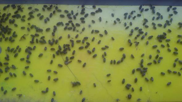 Habe Kleinbe ,schwarze Tierchen Im Vorbau, Fliegen Ans