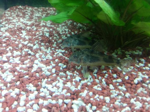 Welse  - (Fische, Aquarium, Aquaristik)