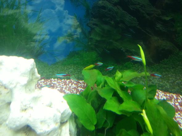 Neons - (Fische, Aquarium, Aquaristik)