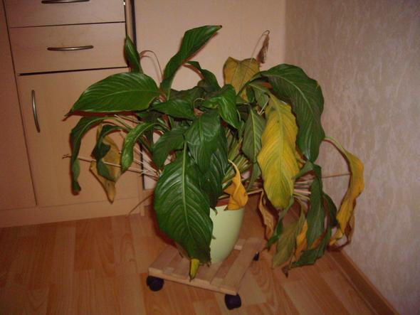 Habe meine Zimmerpflanze versehendlich übergossen was tun?