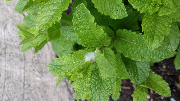 Pfefferminz - (Garten, Kräuter)