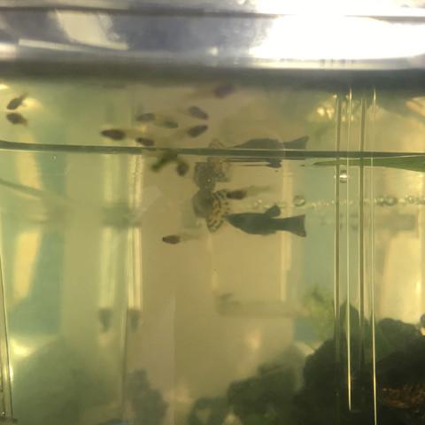 Hier sind die Babys  - (Fische, Aquarium)