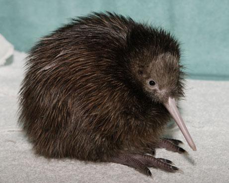 Haben Kiwis die Vgel Federn oder Fell Freizeit Tiere Feder