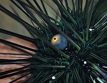 https://de.wikipedia.org/wiki/Datei:Diadema_setosum_qtl1.jpg - (Tiere, Augen, Seeigel)