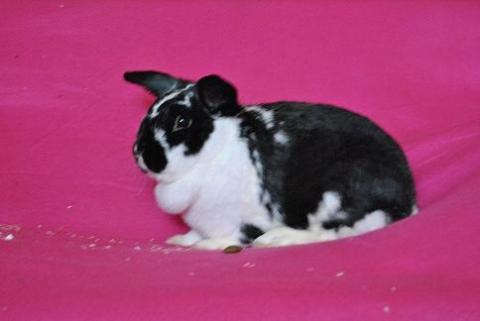 Kaninchen dame - (Körper, Kaninchen)