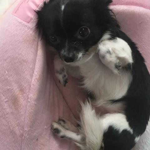 Mein Hund (1Jahr alt) - (Hund, Chihuahua, Papillon)