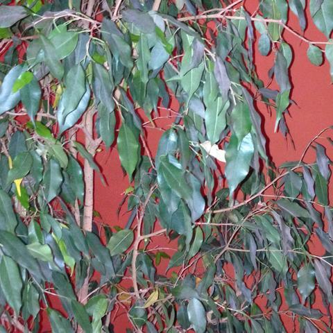 Binjamin  - (Pflege, Pflanzen)