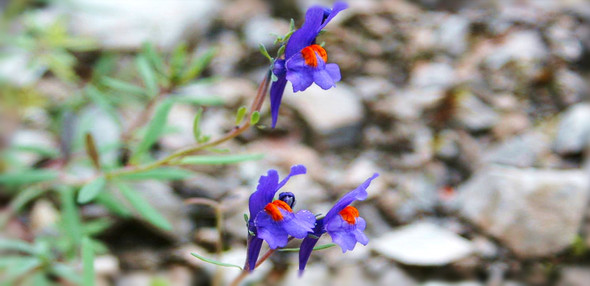 unbekannte Alpenblume - (Pflanzen, Blumen)