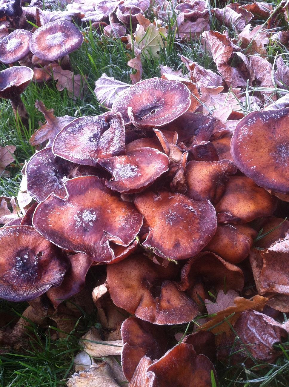 sind diese pilze die zu 1000en in meinem garten wachsen giftig. Black Bedroom Furniture Sets. Home Design Ideas