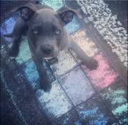 03 - (Hund, Rasse, pitbull)
