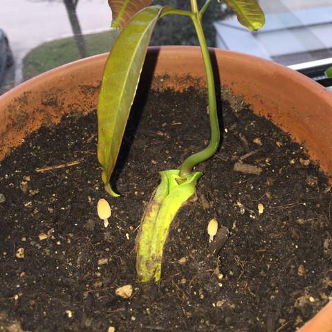 Pilze mit Mango - (Pflanzen, Erde, Pilze)