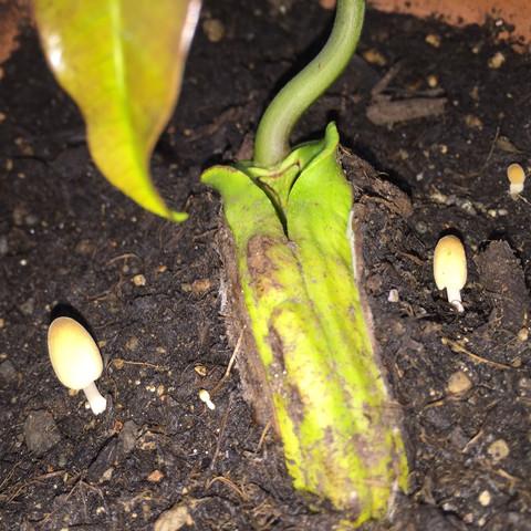 Pilze mit Mango2 - (Pflanzen, Erde, Pilze)