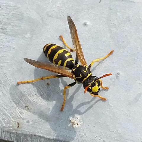 Insekt  - (Tiere, Garten)