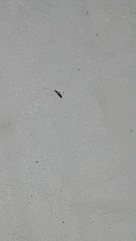 - (Insekten, Hauskäfer)