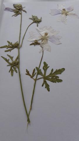 Pflanze 1 - (Herbarium, Pflanzenbestimmung)