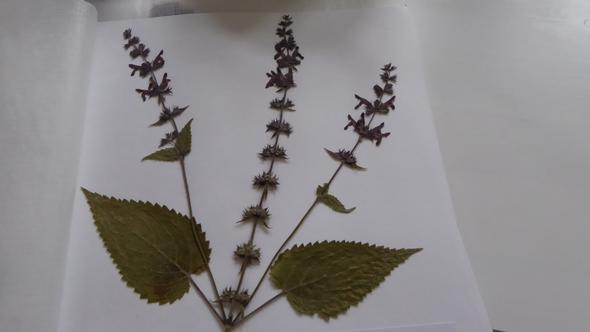 Pflanze 2 - (Herbarium, Pflanzenbestimmung)