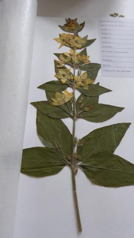 Pflanze 4 - (Herbarium, Pflanzenbestimmung)