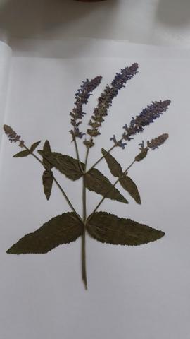 Pflanze 5 - (Herbarium, Pflanzenbestimmung)