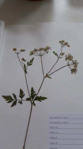 Pflanze 6 - (Herbarium, Pflanzenbestimmung)