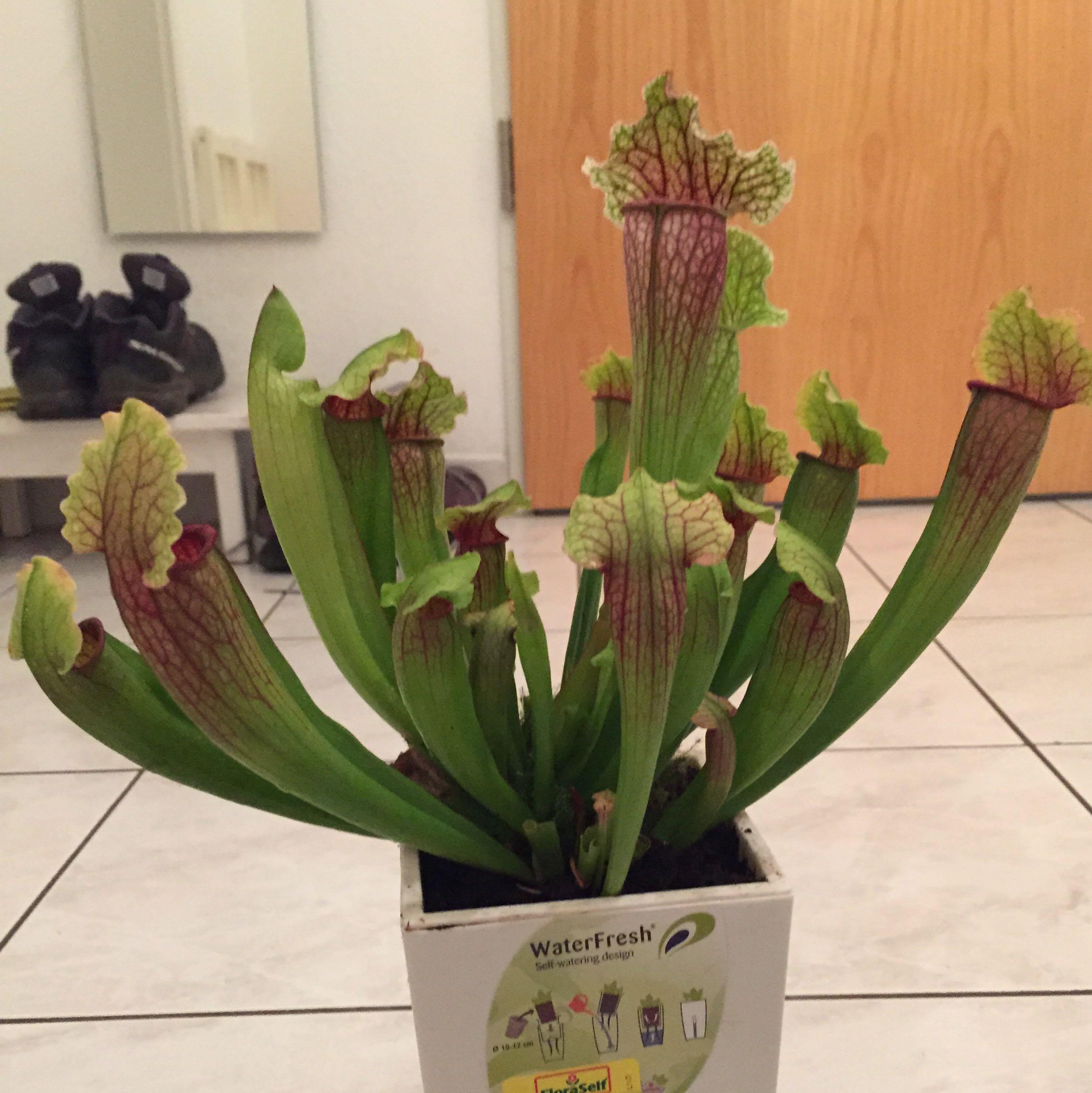 fleischfressende pflanzen haltung fleischfressende pflanzen karnivoren pflege plantopedia. Black Bedroom Furniture Sets. Home Design Ideas