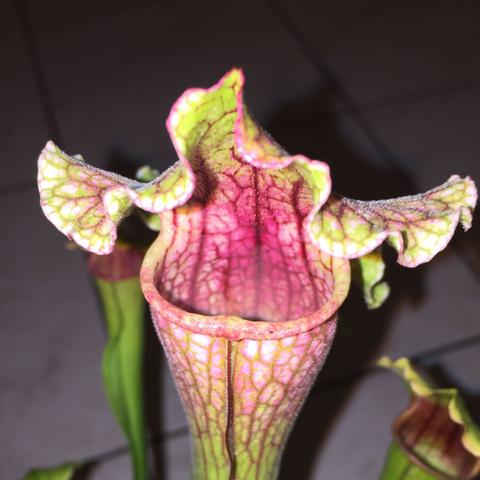 - (Pflanzen, Sarracenia, Florismus )