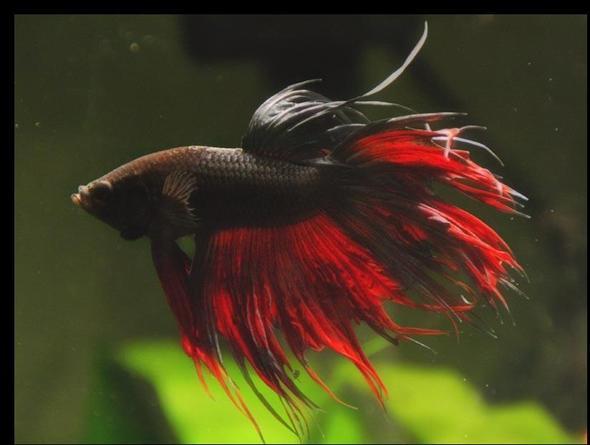 Haltung und zucht von kampffischen betta fische for Kampffisch aquarium