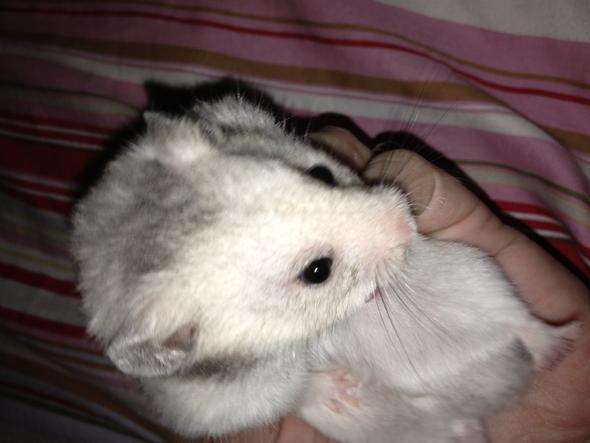 Das ist mein Stumpi - (Tiere, Haustiere, Hamster)